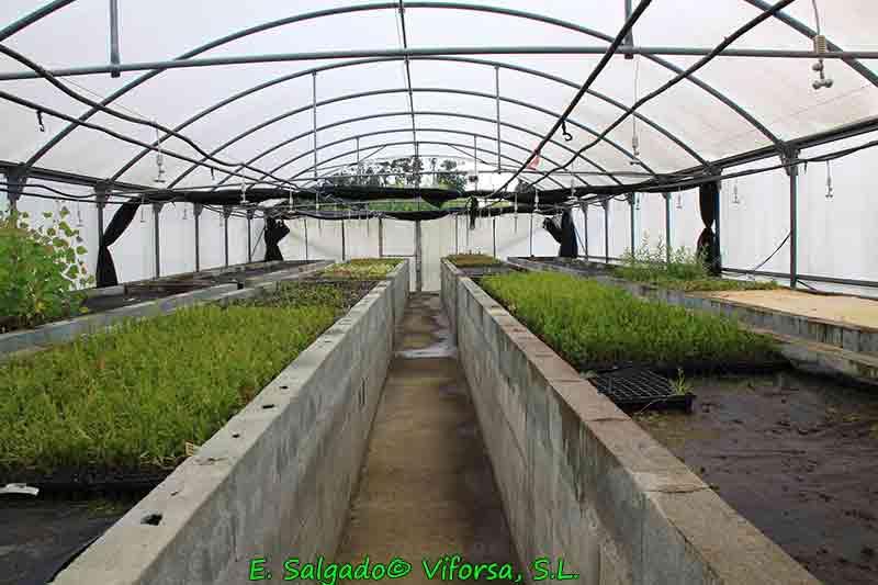 invernadero-propagacion-leylandis