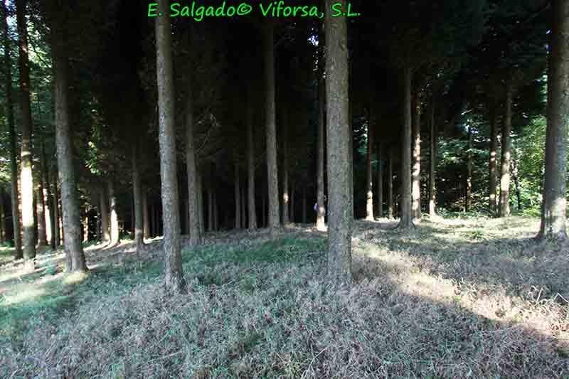 leylandi-plantacion