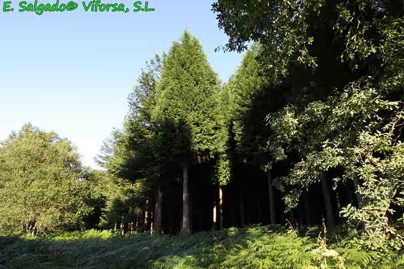 leylandii-madera-plantacion