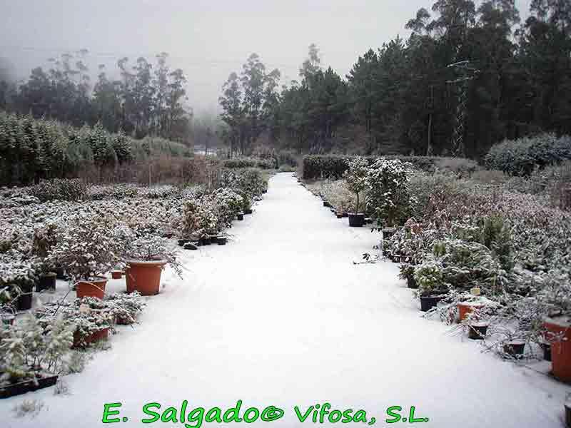 vivero-nieve-leylandis