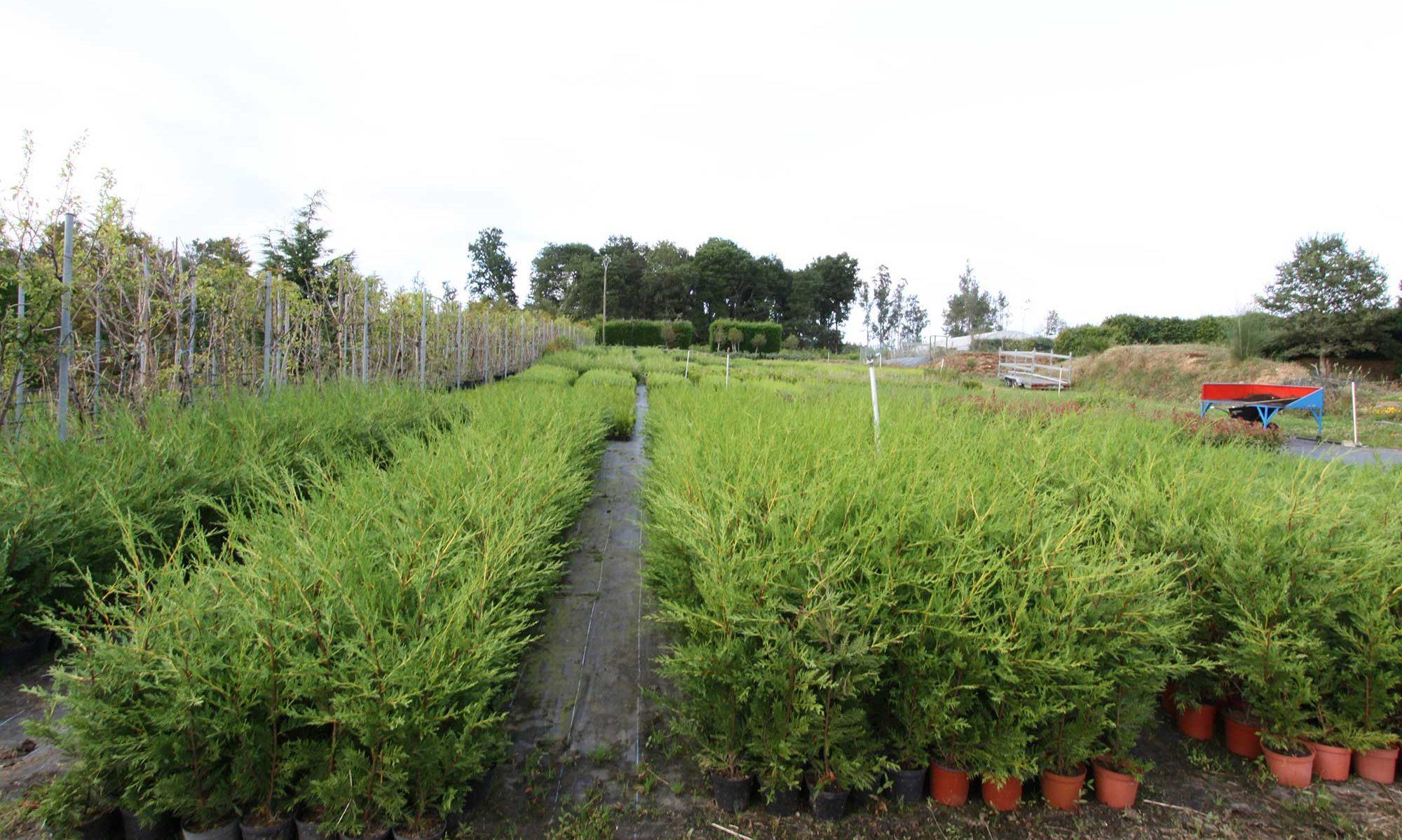 Viforsa, Castaño hibrido, planta ornamental, forestal y de frutos del bosque