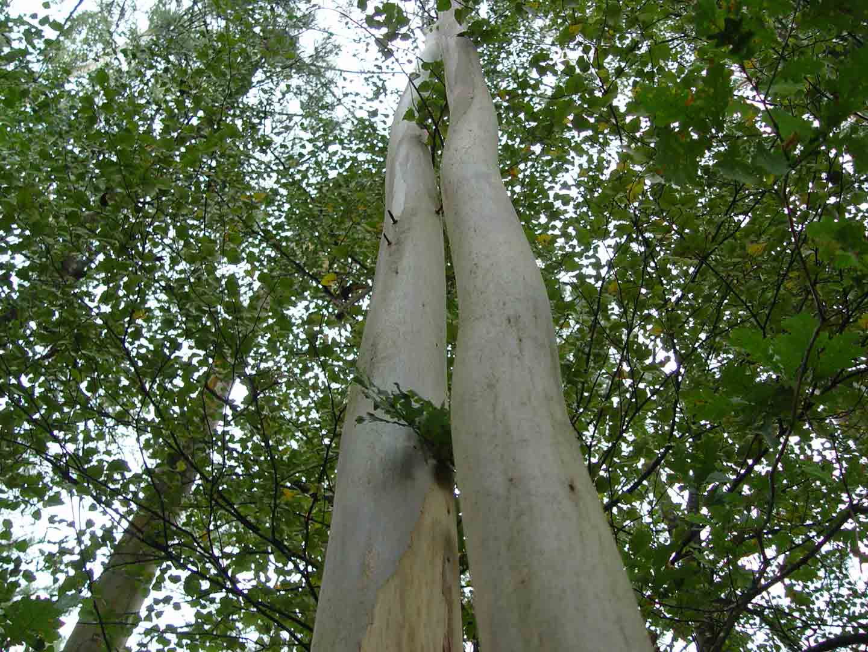 Plantar eucalipto y otros árboles en Galicia. ¿que distancia hay que respetar?