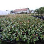 Photinia, un arbusto cada vez más popular en nuestros jardines