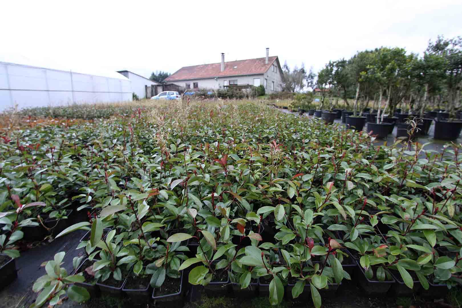 Photinia un arbusto perenne cada vez m s popular en for Planta perenne en maceta de invierno