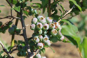 Planta de arandanos para setos