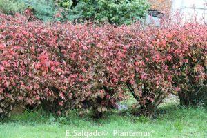 setos de jardin evonimus