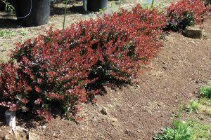 planta para setos berberis