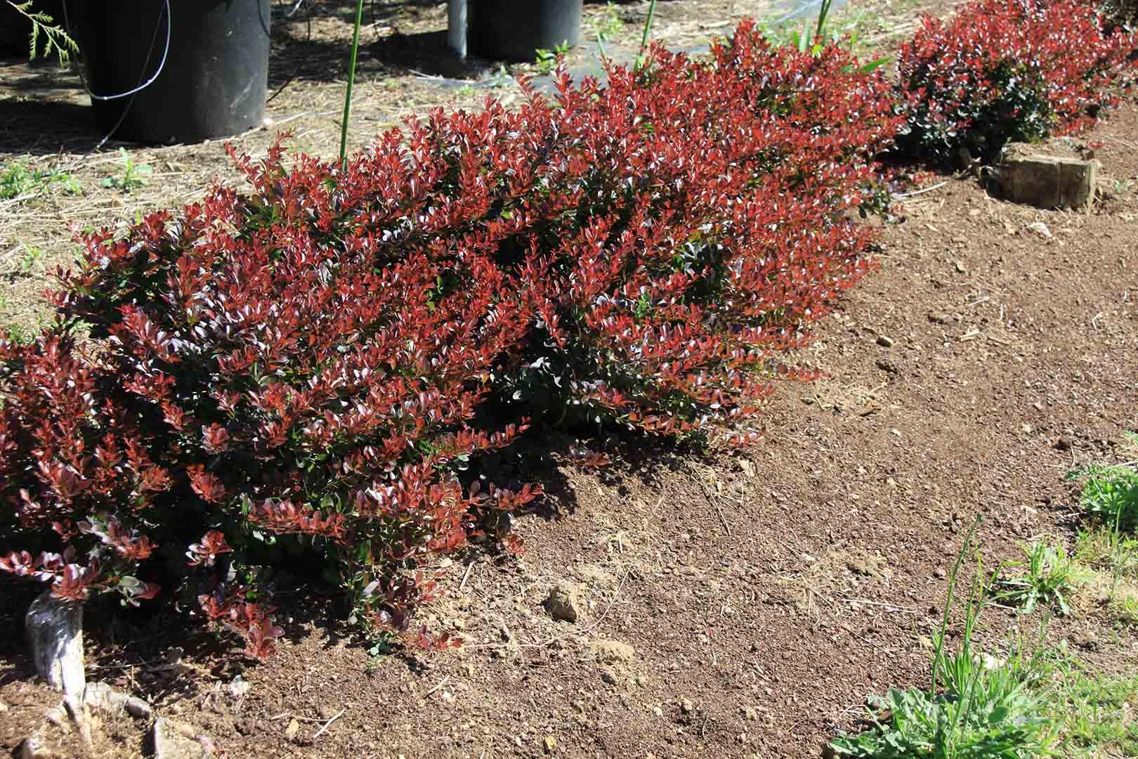 Plantas para setos que tipo de seto necesitas diez for Cierre jardin