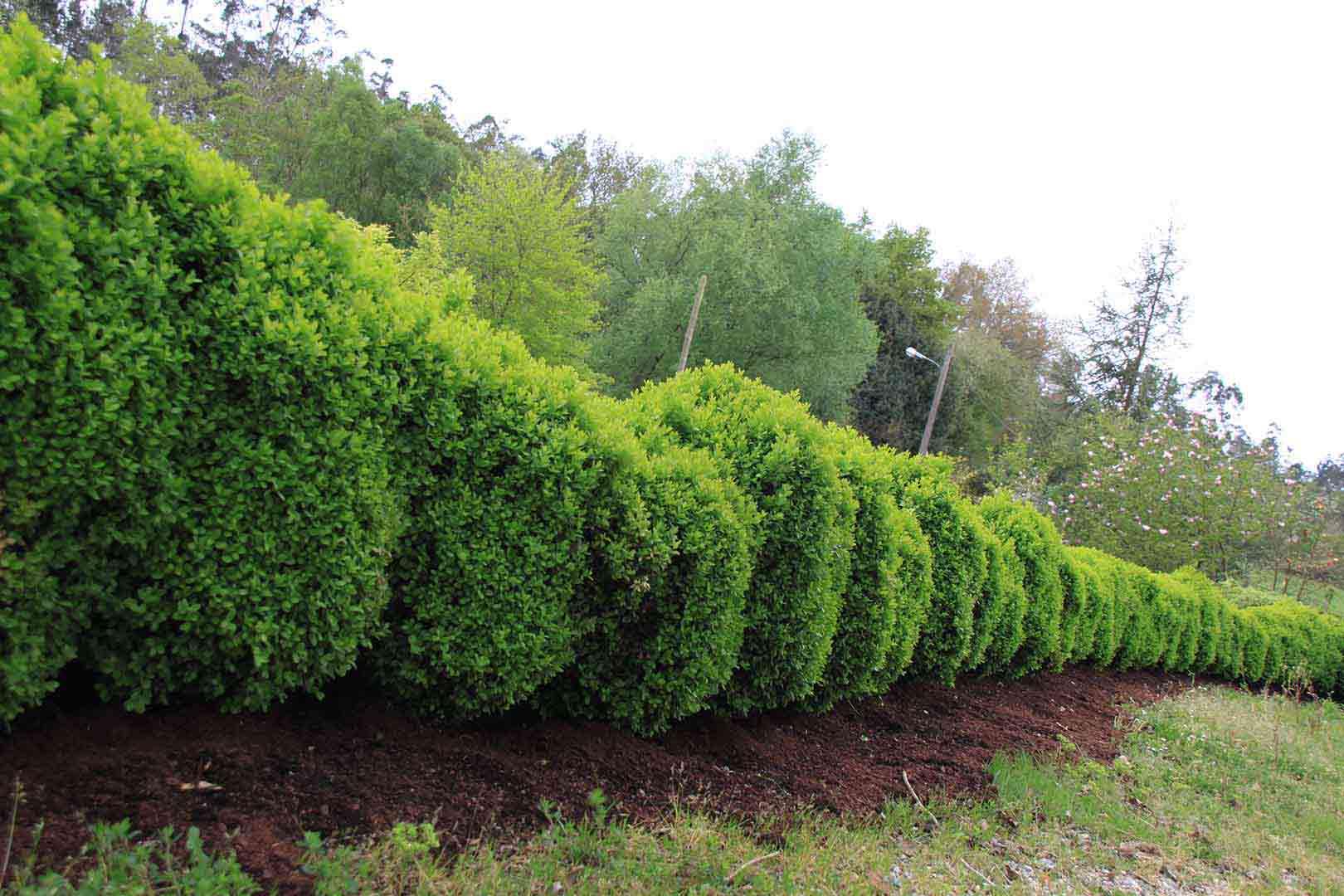 Plantas para setos que tipo de seto necesitas diez for Arbustos decorativos jardin