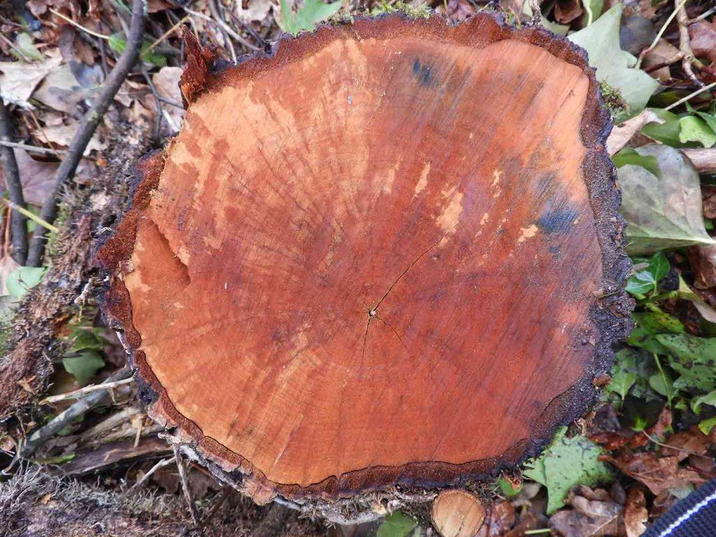 ameneiro-madeira