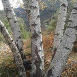 Betula alba, bidueiro, abedul planta ornamental y forestal.