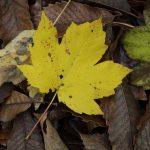 Acer pseudoplatanus. Arce blanco, Falso platano. Árbol para jardinería y producción de madera.
