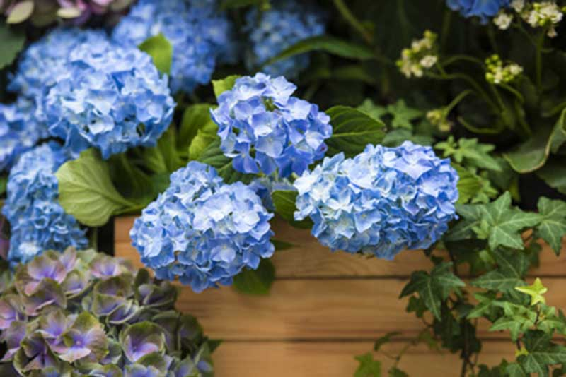 podar hortensia azul
