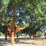 Ni te imaginas lo mucho que vale un alcornoque. Quercus suber