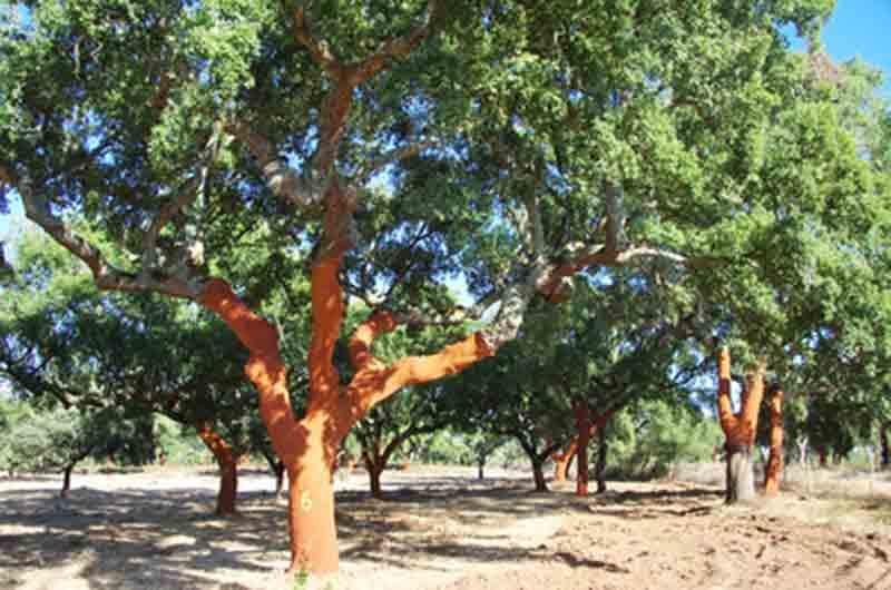 Alcornoque Quercus suber o Sobreira