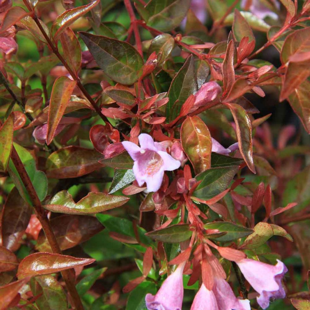 Abelia Grandiflora Edward Goucher, arbusto con perfumadas flores ¿quieres respirar su aroma?