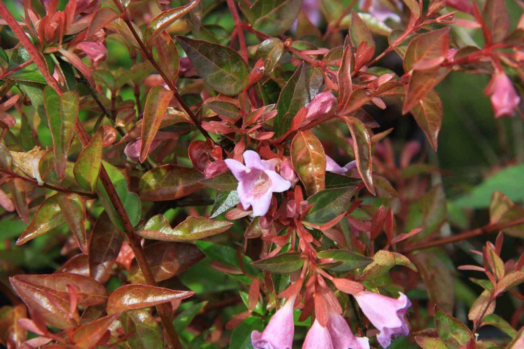 Abelia Grandiflora Edward Goucher | Abelia arbusto con flores
