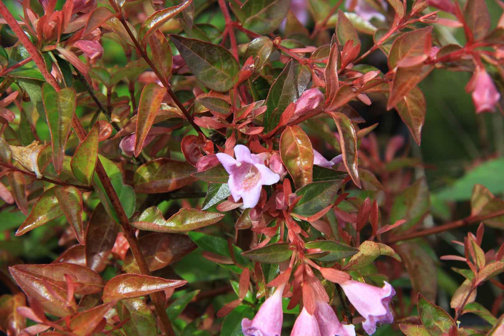Abelia grandiflora edward goucher un arbusto con - Arbustos perennes con flor ...
