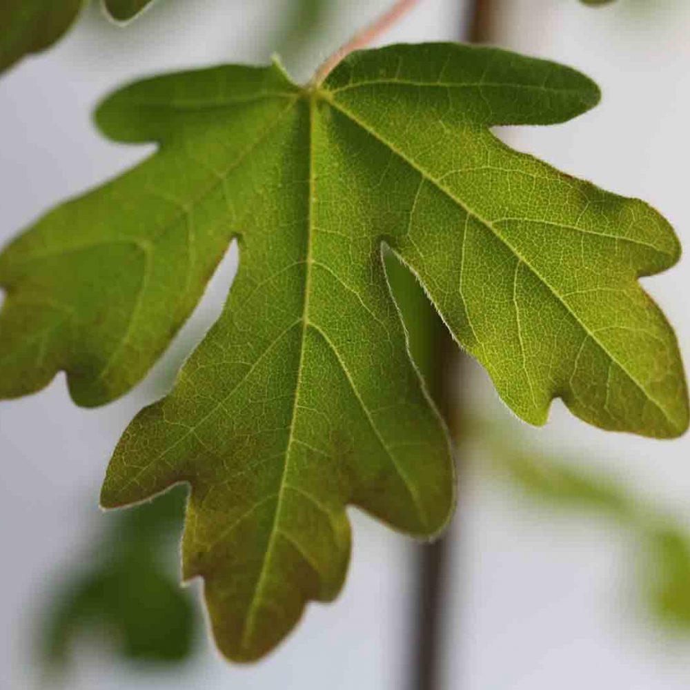 Acer campestre o Arce común