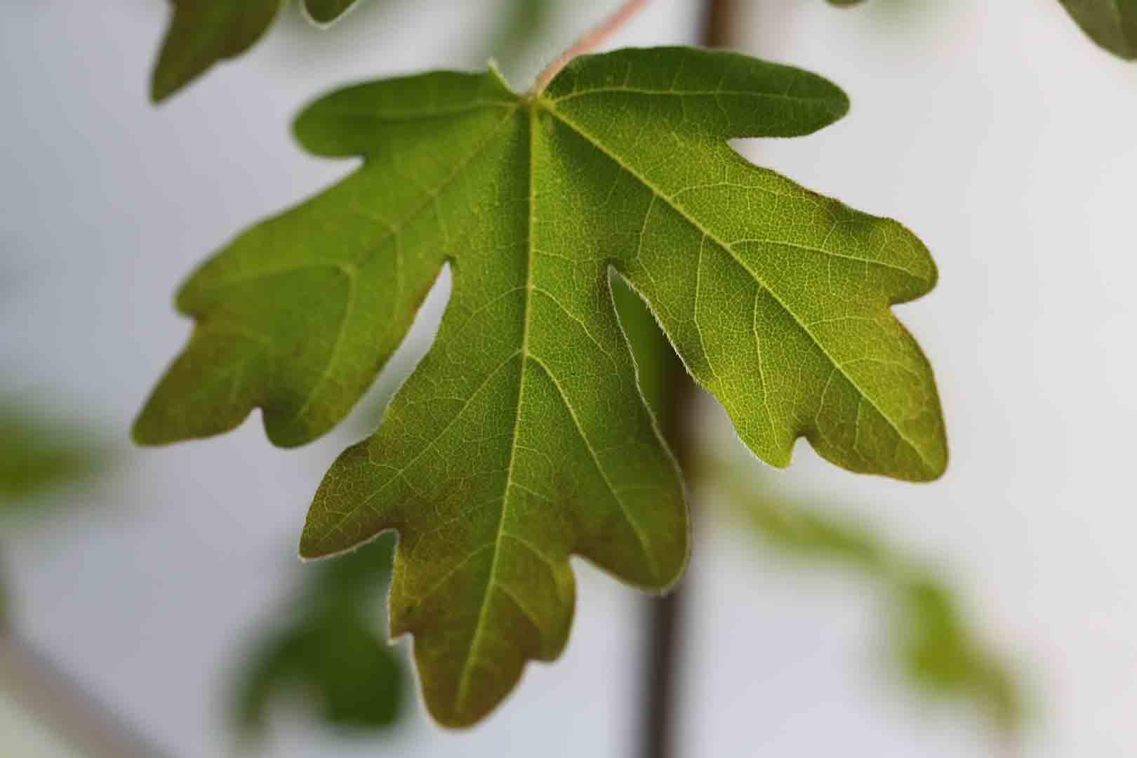 Acer campestre arce com n rbol caducifolio aut ctono en - Arce arbol espana ...
