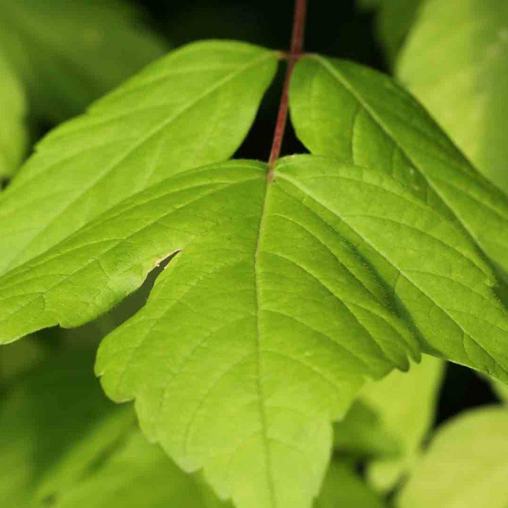 Acer negundo rbol de sombra de r pido crecimiento arce for Arboles de hoja perenne que crece rapido