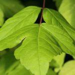 Acer negundo o americano, árbol de sombra de rápido crecimiento