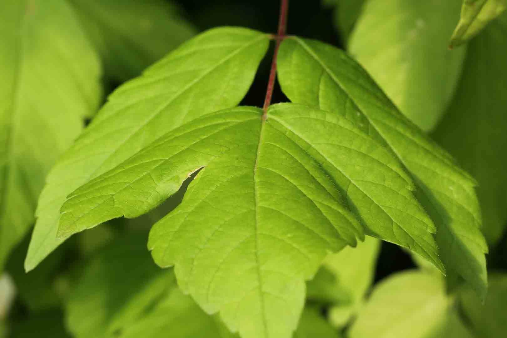 Acer negundo rbol de sombra de r pido crecimiento arce - Arce arbol espana ...