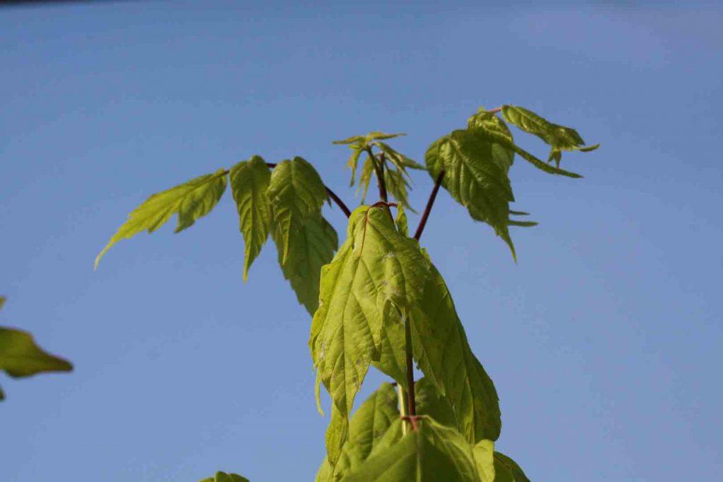 Plantas de Acer negundo - Arce negundo - Arce americano