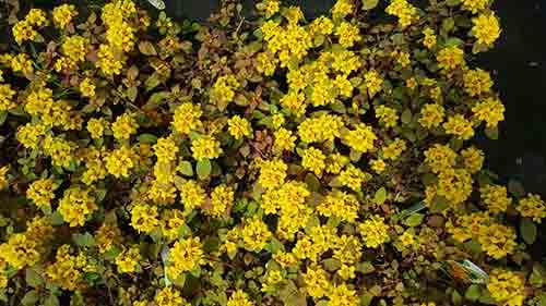 Lysimachia congestifolia, una alfombra de flores amarillas.