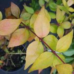 Abelia grandiflora Goldsport, abelia amarilla.