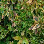 Abelia kaleidoscope, una maravillosa explosión de colores en tu jardín.