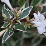 Abelia variegata ¿ Te gusta la fragancia de sus flores ?