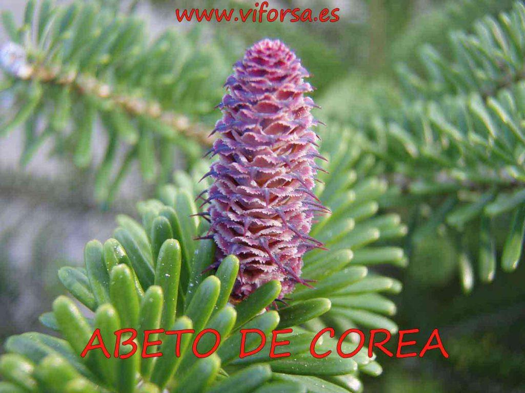 Cono violeta de abeto de corea