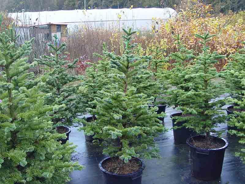 Abies nordmanniana, los abetos de navidad más apreciados
