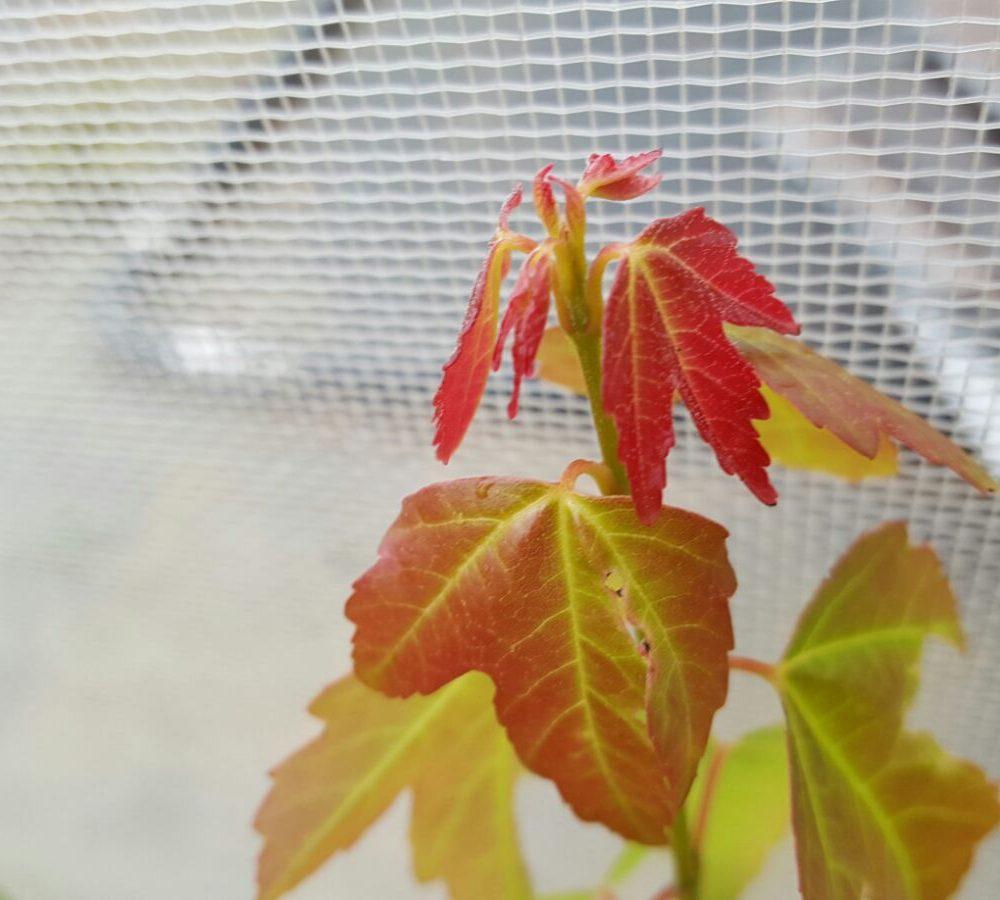 Acer buergerianum el arce tridente para bonsai y jardines - Arce arbol espana ...