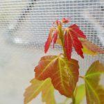 Acer buergerianum, el arce tridente para bonsai y jardines pequeños