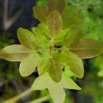Acer monpessulanum, el arce de Montpellier, árbol de sombra