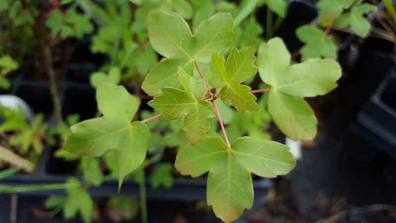Acer monpessulanum el arce de montpellier rbol de sombra - Arce arbol espana ...