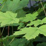 Acer platanoides, el arce real con bellos colores otoñales