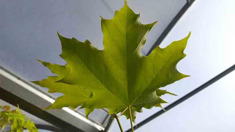 Acer saccharum jarabe de arce te vendo plantas de arce - Arce arbol espana ...