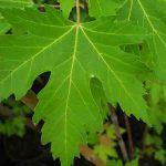 Acer saccharinum el arce plateado de Florida