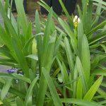Agapanto, Agapanthus africanus, Flor del Amor o Lirio africano
