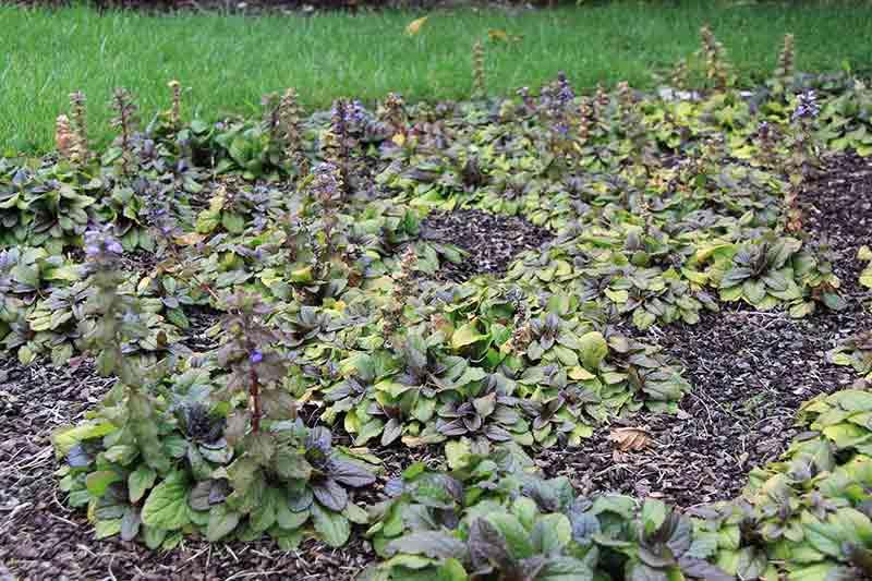 Ajuga reptans, lechuguilla, planta tapizante multiusos