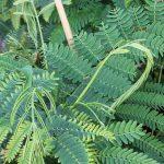 Albizia julibrissim, Acacia de constantinopla, belleza oriental en tu jardín