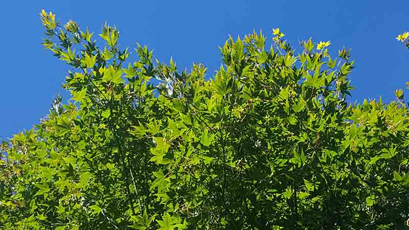 arce japonés, acer palmatum