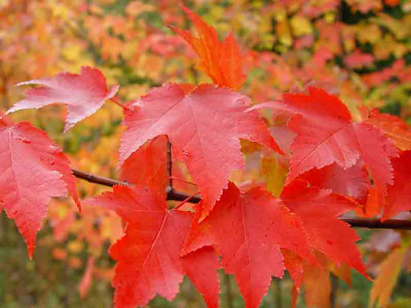 the red maple in autumn