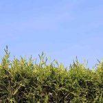 Thuja plicata zebrina, Tuya amarilla, casi tan rápida como el leylandi