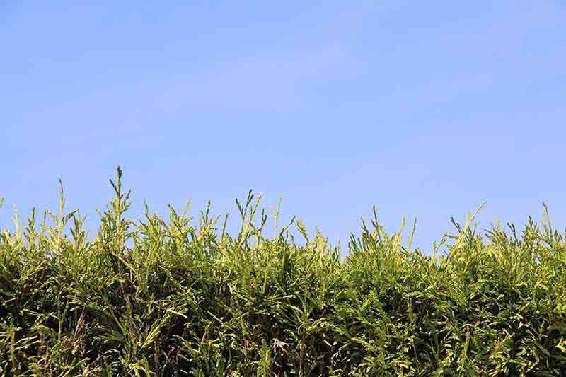 Thuja plicata zebrina