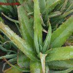Plantas de Aloe vera, tendrás una farmacia en el jardín