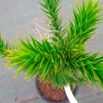 Araucaria araucana, el pino chileno con sorprendentes formas.